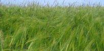alopecurus myosuroides in barley