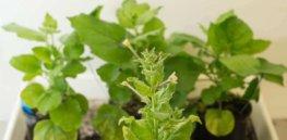 tobaccoplant