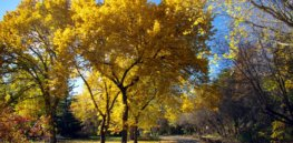 american elm trees park