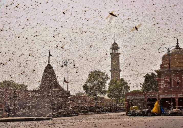 India battles locust infestation that could destroy enough food to feed 35,000 people—every day