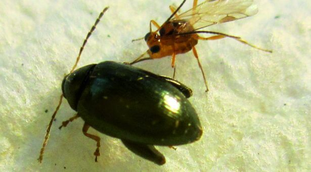 microctonus brassicae a parasitoid targeting the adult cabbage stem flea beetle psylliodes chrysocephala x
