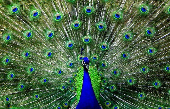 peacock eye feathers flickr ozgurmulazimoglu