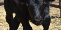 Video: How do you breed CRISPR cows? A crash course on animal gene editing
