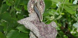 aristolochia labiata