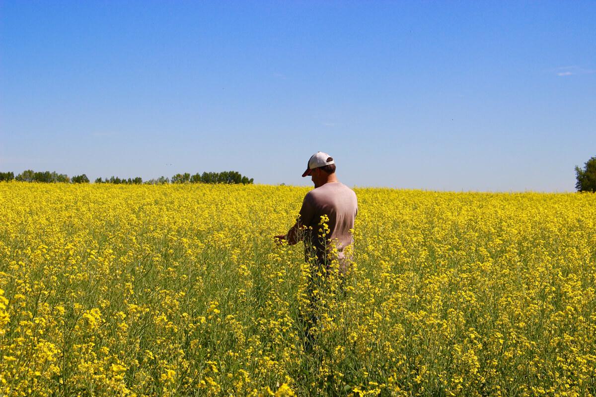 canola oregon seed industry debate cross pollination willamette valley