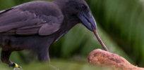 hawaiian crow tool use