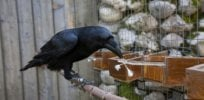 Some birds are quite smart but do they really 'think like humans'?