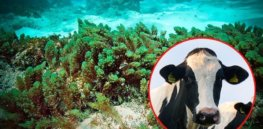 Seaweed could 'neutralize' stubborn methane emissions from cows, slowing climate change