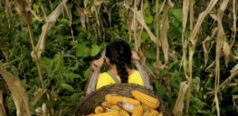 Brazil approves Bayer's insect-resistant GM Bt corn, finding it poses no risk to humans, animals or the environment