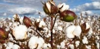 Australia green lights Bayer's herbicide-tolerant GM cotton, finding no risk to human health or the environment