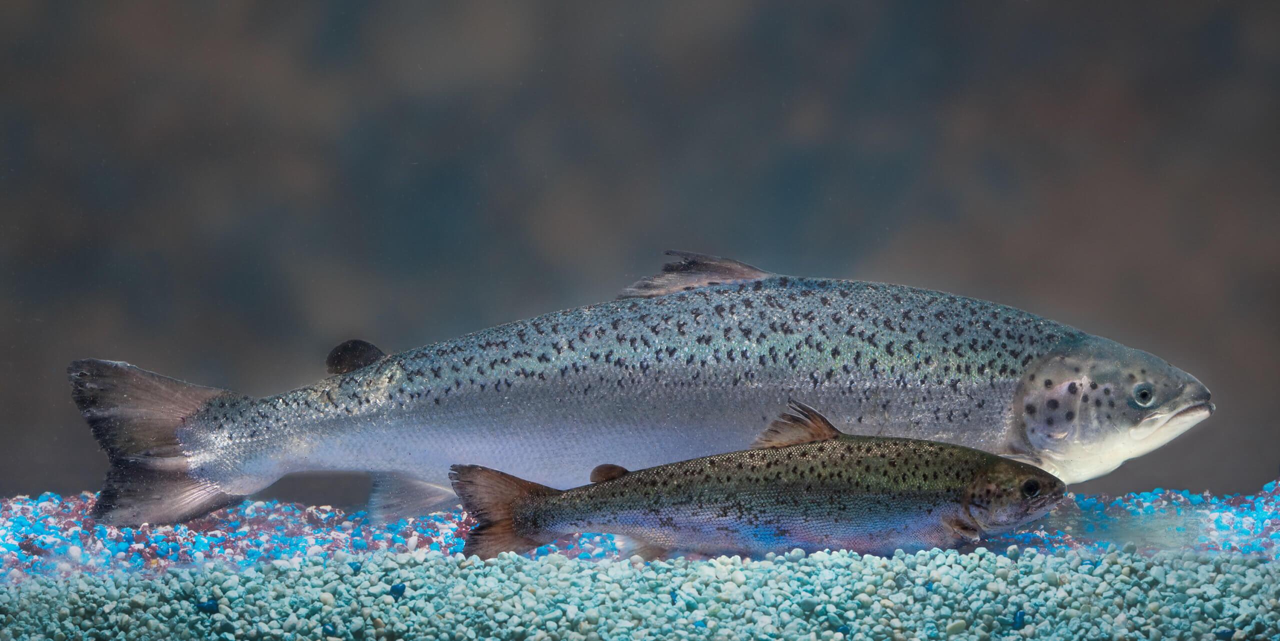 hres aquadvantage salmon vs non transgenic sibling aquabounty technologies custom dab d ec cb c d badecd