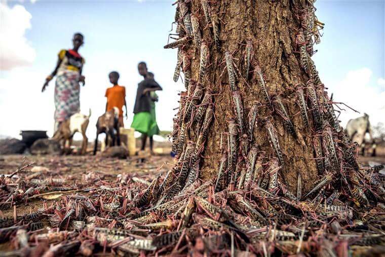 locust destruction in africa credit fao via genetic literacy project