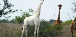 Last surviving white giraffe, a genetic anomaly, fitted with GPS tracker to deter poachers
