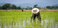 thailands rice farmers