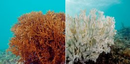 CRISPR-edited coral: Gene editing could help Great Barrier Reef survive climate change