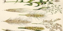 'Like finding missing puzzle pieces': Sequenced genome of 15 wheat varieties could speed search for heartier crops
