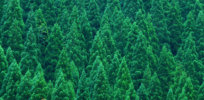 Gene-edited, pollen-free cedar tree could help allergy sufferers breathe easier in spring