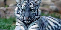 How nature evolved blue tigers and other quirks of 'neutral theory'