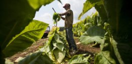 COVID vaccine made from GMO tobacco? It's now in human trials