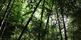 Bamboo: Invasive nuisance, or untapped climate change solution for farmers?