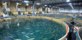 Seafood distributors welcome AquaBounty's sustainable GM salmon