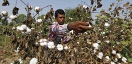Nuclear technology yields cotton ready to withstand withering heat waves brought on by global warming