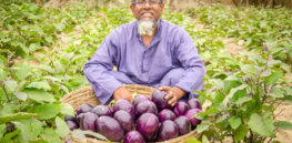 Popularity of GM, insect-resistant eggplant grows in Bangladesh as more farmers discover its yield-boosting benefits