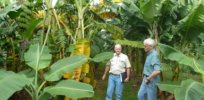 Genetic engineering could immunize bananas against deadly Fusarium wilt without cutting crop yields