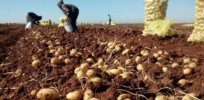 Genetically engineered, blight-resistant potato could help East Africa beat hunger and move towards food self-sufficiency