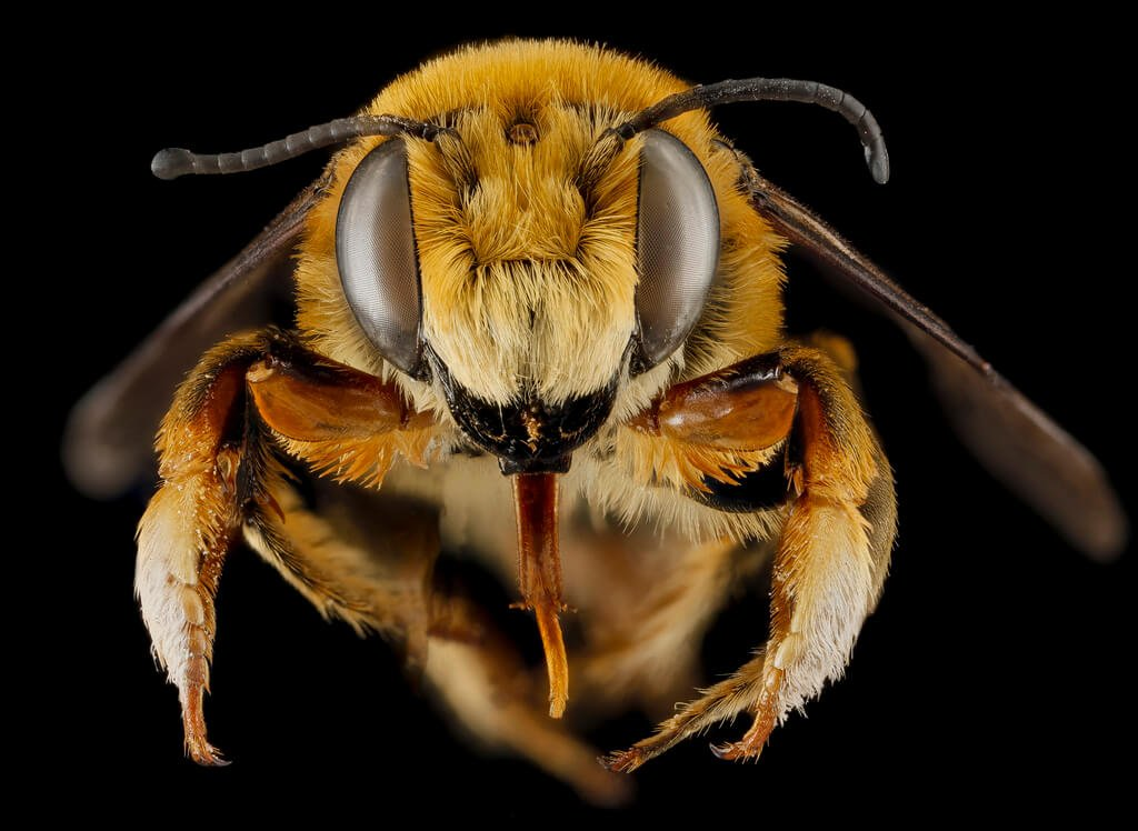 tiger bee face