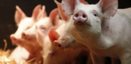 GE animals: While the federal government delays approvals, antibiotic use, animal suffering and food prices increase
