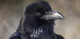 Who are you calling bird-brained? Crows and other corvids display self-awareness and consciousness