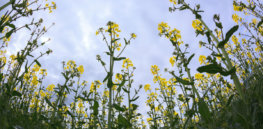 GM canola, soybean don't harm biodiversity, 15-year Japanese government study finds