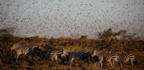 East Africa battles locust swarms by turning them into animal feed and organic fertilizer