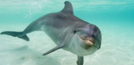 'Friendship, family and culture': Surprising evolution-based attributes that dolphins share with humans