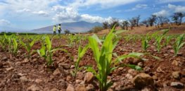 Developing countries grow more GM crops than their industrial counterparts