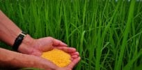 GM Golden Rice could provide 30% to 50% of daily vitamin A needed to combat deadly nutrient deficiency, study shows