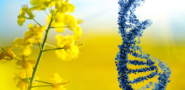 Higher canola yields without additional farmland: Gene editing could make it happen