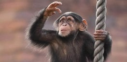 Newly identified chimp pathogen found to be 100% fatal. Could it jump to humans?