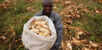 GM, drought-tolerant, insect-resistant corn could save Nigeria $168 million in pesticide imports annually