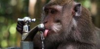 Humans are water-saving apes? Homo sapiens' ability to run on less water may have driven our evolution