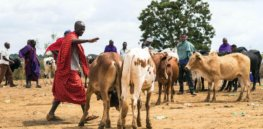 African researchers use gene editing and other tools to breed heartier livestock