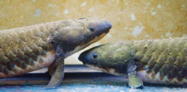 How the evolution of an ancient fish gave humans the ability to speak