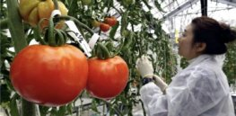 Will consumers accept the world's first gene-edited tomato?