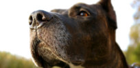 AI emulates trained dogs' ability to detect cancer and other diseases, including COVID-19