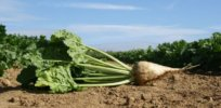 UK sugar beet farmers could be growing gene-edited, disease-resistant crops within 5 years