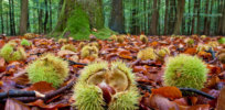Podcast: Sierra Club endorses biotech chestnut tree; GM salmon coming this April? Downside of genetic engineering