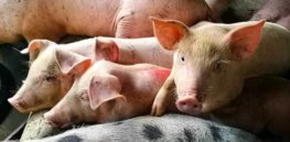 CRISPR offers hope for controlling African swine fever