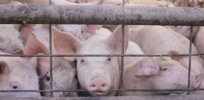 Advocacy groups and biotechnology opponents urge FDA to strictly regulate genetically engineered animals
