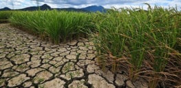 GM crops are not a 'magic fix to climate change,' but they are key to keeping us fed as temperatures rise
